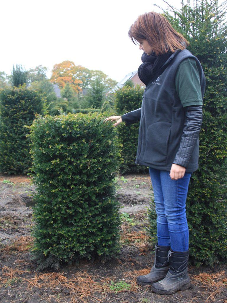 Taxus hedging