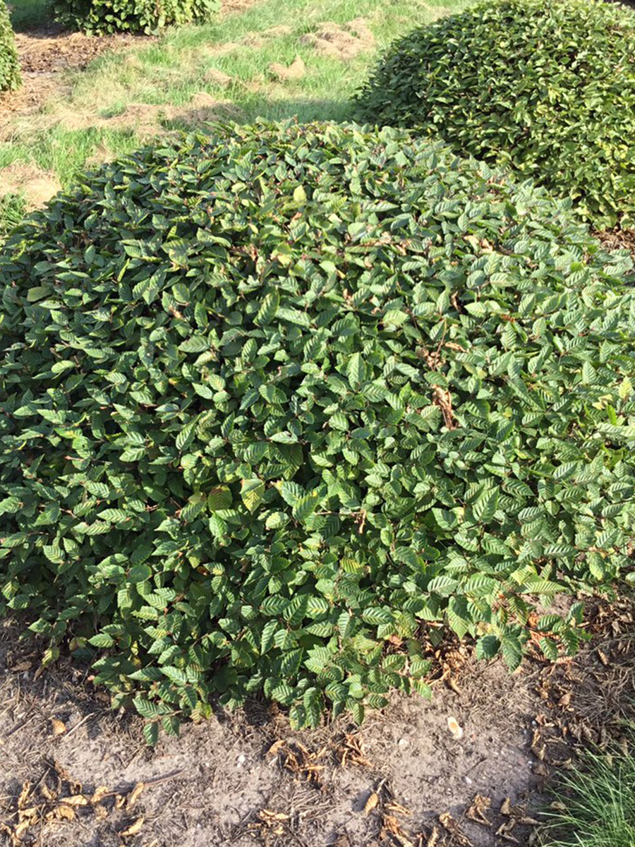 Big Hedge Co Instant Fully Mature Cheshire Topiary
