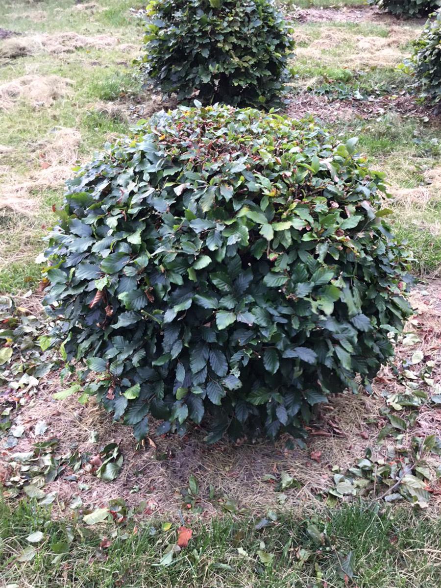Green Beech Ball - 60cm gallery image 0
