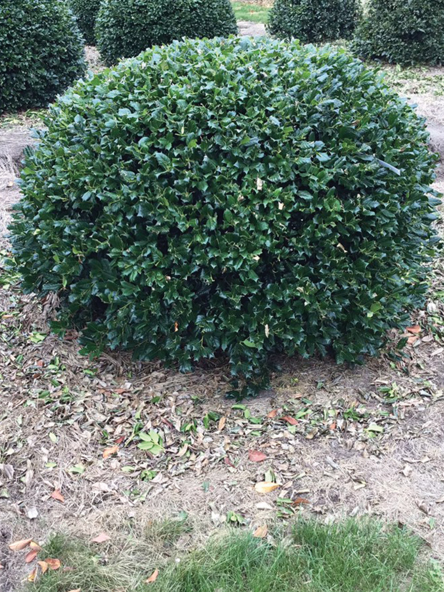 English Holly Dome - 90cm gallery image 0