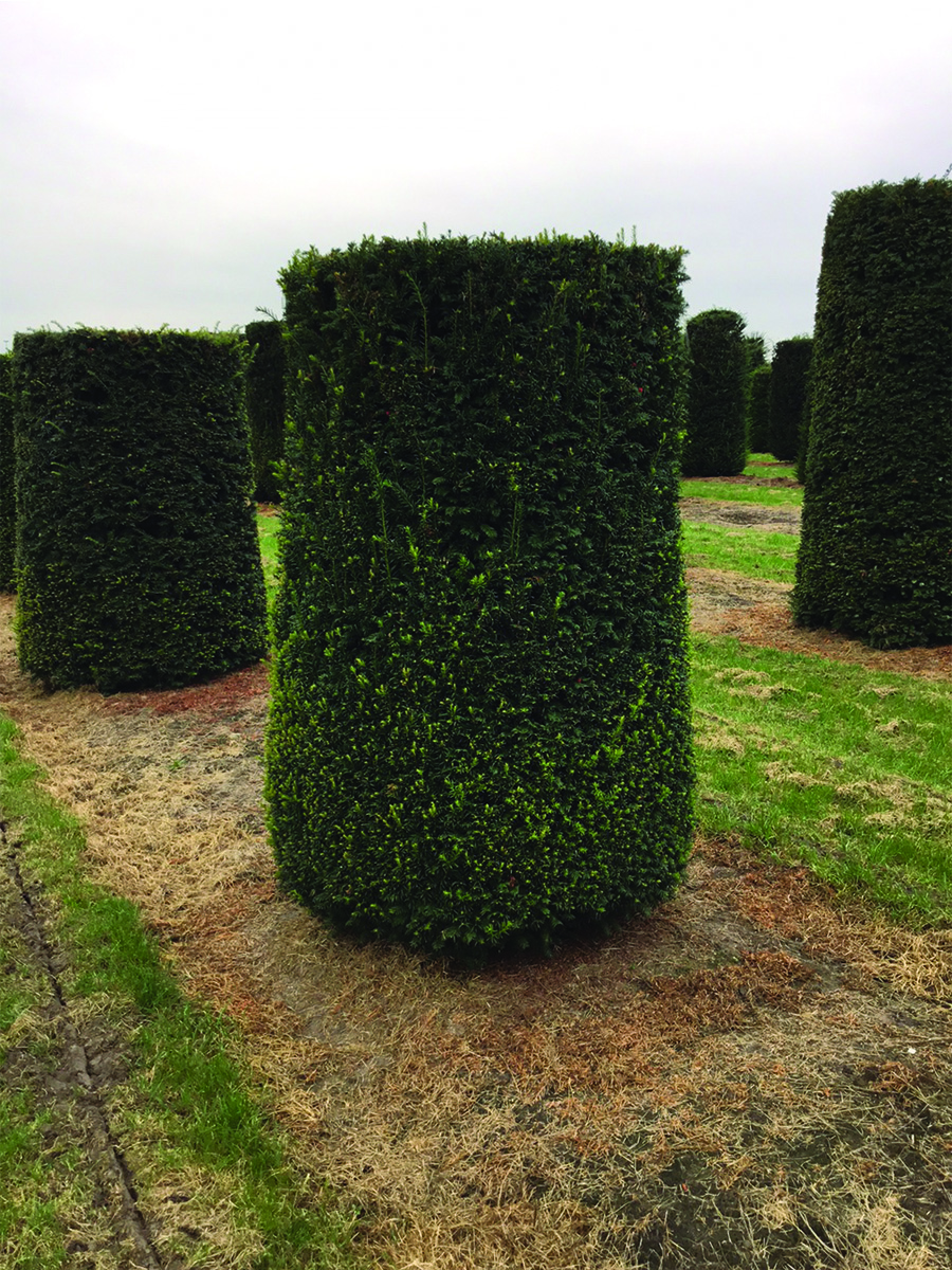 Yew Cylinder - 2.2m gallery image 0