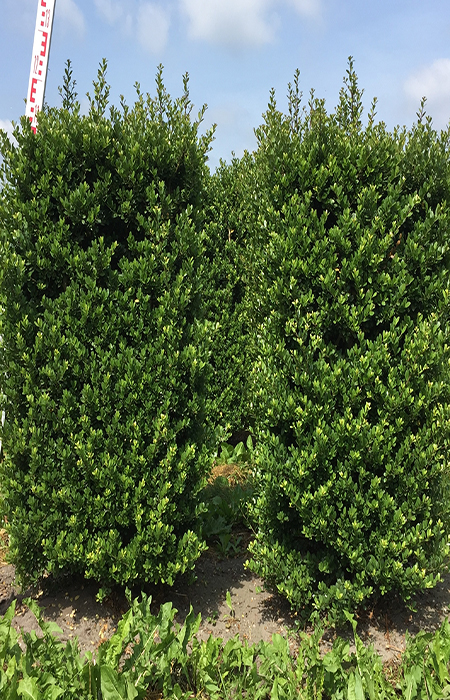 Japanese Holly gallery image 4